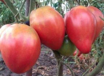 Сорт помидоров Абаканский розовый - описание, характеристика, фото, видео Отзывы, урожайность