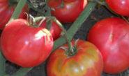 Помидор Бабушкин секрет - описание сорта с фото, характеристика, урожайность Отзывы кто сажал