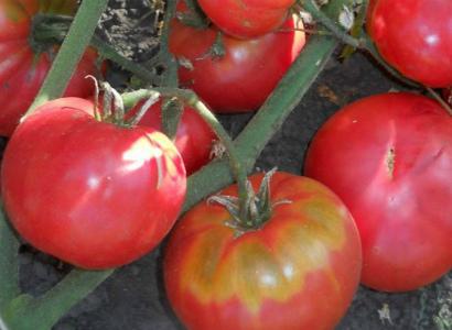 семена помидор бабушкино