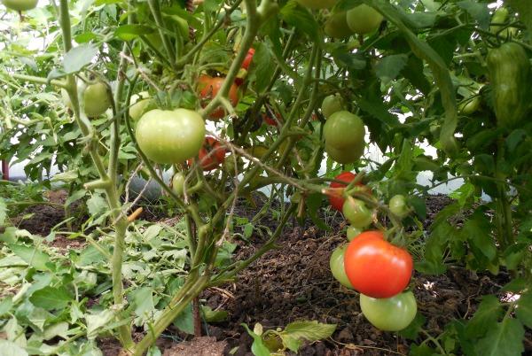Среднеспелый сорт томата Джина