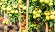 Помидор Лирика F1 - описание, характеристика сорта с фото, видео, урожайность Отзывы