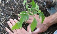 Как правильно вырастить томаты от рассады до сбора урожая Пошаговый процесс