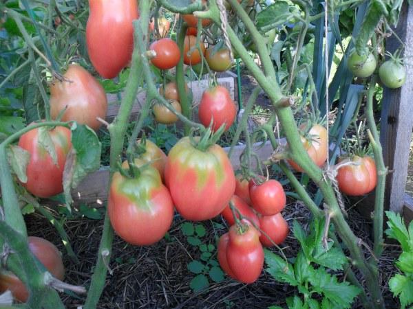 Уход за томатами Петруша огородник