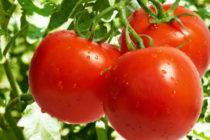 Помидор Санька - описание сорта с фото, характеристика, урожайность Отзывы