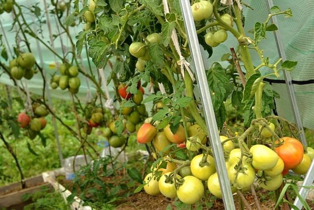 Лучшие сорта томатов для теплиц Подмосковья