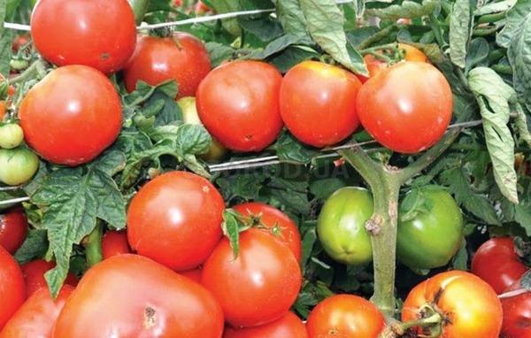 Лучшие крупноплодные помидоры