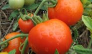 Лучшие сорта помидоров для Подмосковья для теплиц из поликарбоната на 2019 год с фото, описанием Отзывы