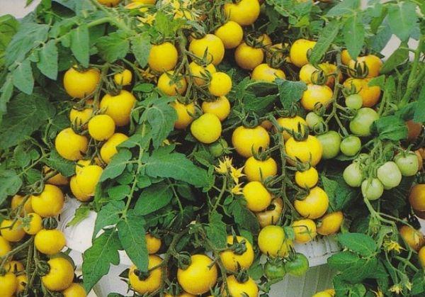 Лучшие урожайные и низкорослые сорта
