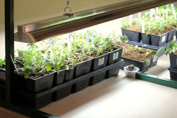 Какие условия нужны для роста рассады томатов