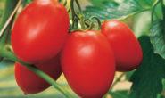 Помидор Бенито F1 - описание сорта с фото, характеристика, урожайность Отзывы кто сажал