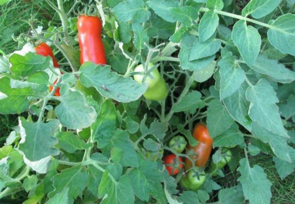 Выращивание томатов сорта Жигало