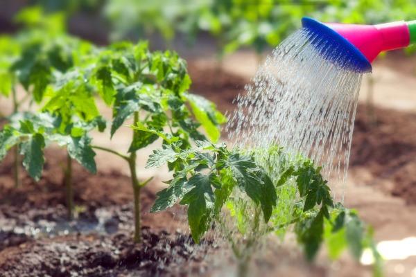 Как часто нужно поливать помидоры на грядках