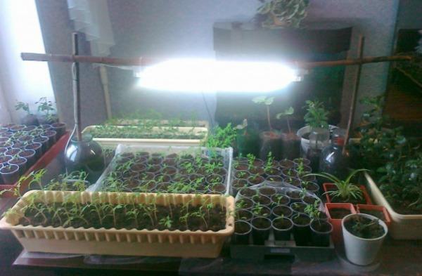 Как правильно досвечивать томаты в домашних условиях