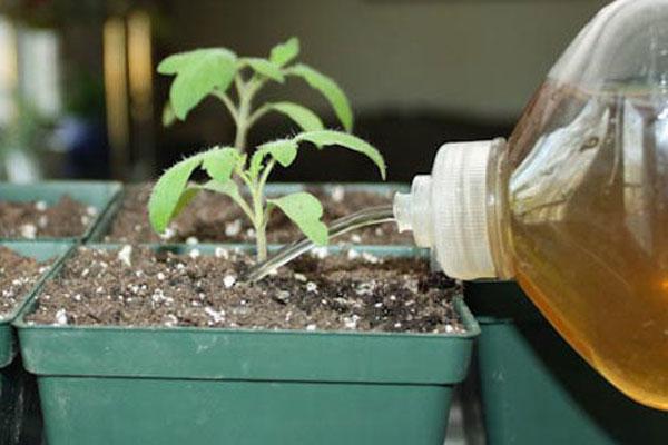 Нужно ли подкармливать рассаду помидоров?