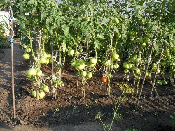 Какая почва и условия для выращивания нужны помидорам