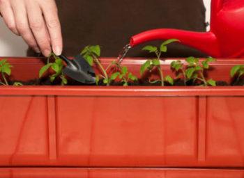 Как и чем поливать рассаду помидор в домашних условиях - как часто и сколько воды