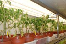 Как досвечивать рассаду помидор в домашних условиях Какие лампы лучше для досветки рассады