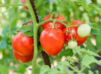 Помидор Лентяйка - описание сорта с фото, характеристика, урожайность Отзывы кто сажал