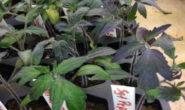 Почему рассада помидор фиолетовая и не растет, что делать с листьями Причины