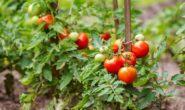 После чего сажать помидоры в открытый грунт, в теплице, на следующий год Что сажать после помидор?