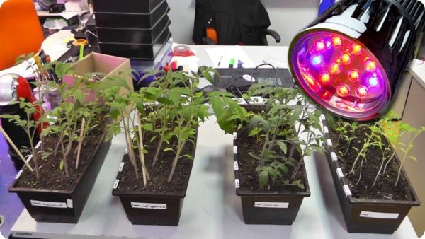 Правильное досвечивание рассады томатов
