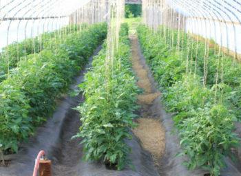 Как подвязывать помидоры в теплице правильно - лучшие способы, материалы Фото