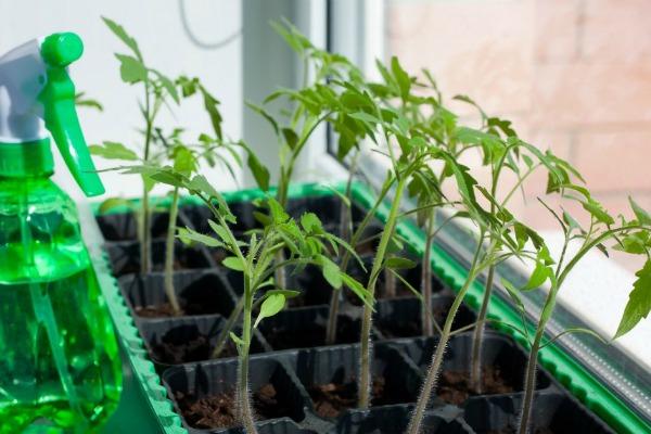 Как сделать капельный полив рассады помидор на подоконнике своими руками