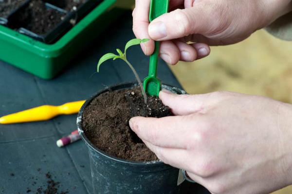 Как правильно пикировать помидоры - пошаговая инструкция