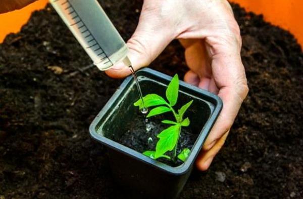 Как поливать рассаду томатов после пикирования