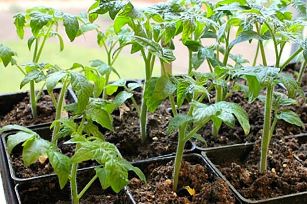 Чем подкормить рассаду, чтобы помидоры были толстенькими