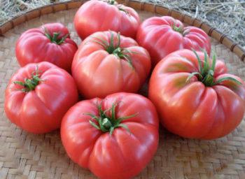 Лучшие сорта томатов на 2019 год по отзывам садоводов, фото, описание для теплиц, для открытого грунта, для регионов Видео