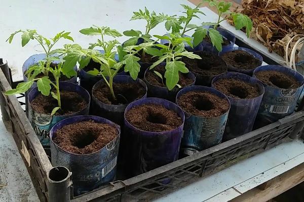 Перевалка саженцев, растущих в отдельных стаканчиках