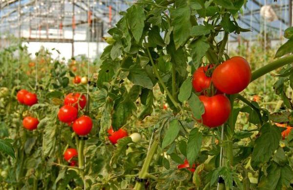 Отзывы садоводов, кто сажал Любашу