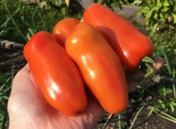 Помидор Жигало - описание сорта с фото, характеристика, урожайность Отзывы кто сажал