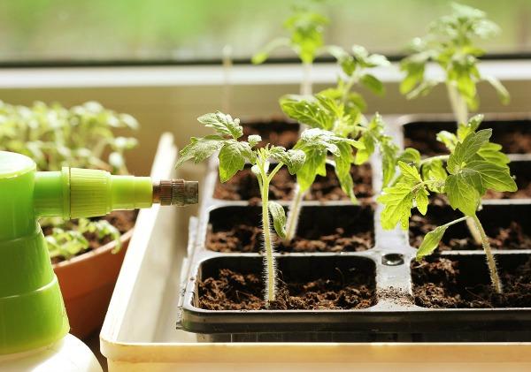 Основные ошибки огородников при поливе рассады