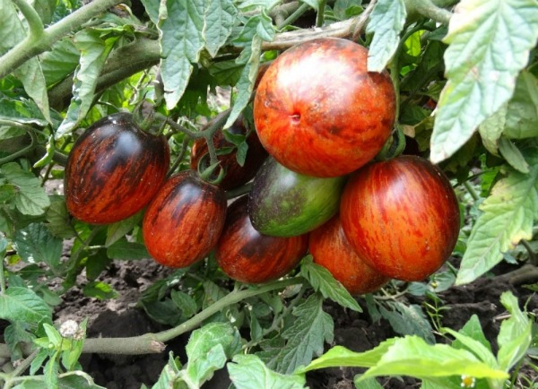 Выращивание томата Гаргамель F1
