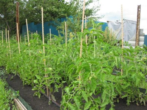 Выращивание томатов сорта Лентяйка