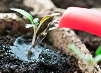Чем подкормить рассаду помидор для роста в домашних условиях, народными средствами, для толщины стебля