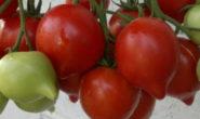 Помидор Буденовка - описание сорта с фото, характеристика, урожайность Отзывы кто сажал