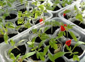 Когда и как пикировать рассаду помидор пошагово с фото Видео