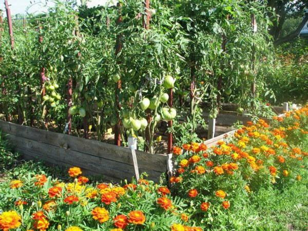 Лучшие соседи, что лучше посадить рядом с томатами