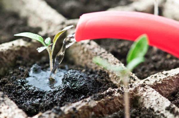 Как часто поливать рассаду помидоров