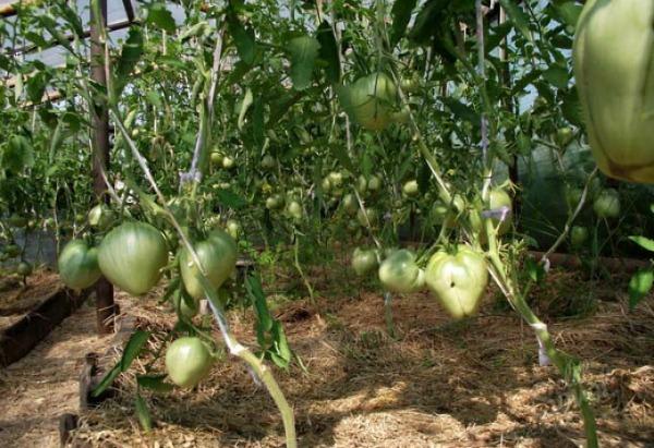выращивание томата Буденовка