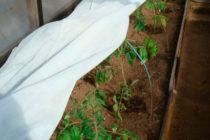 Как защитить томаты от заморозков в теплице Как уберечь рассаду помидор от весенних заморозков