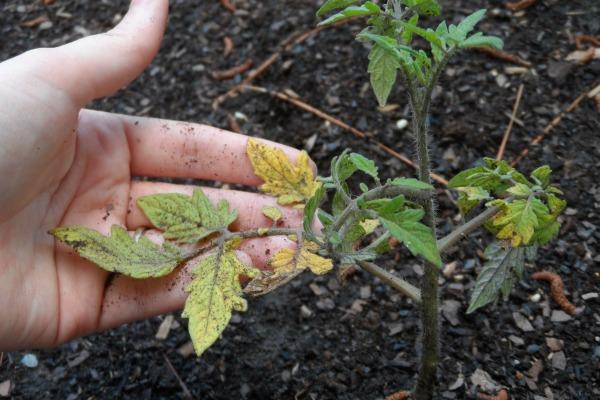 Пожелтение рассады из-за переувлажнения почвы и плохого освещения