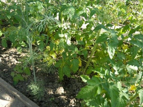 Причины пожелтения листьев у томатов в теплице