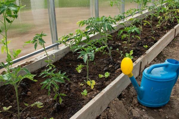 Как часто поливать томаты в теплице