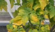 Почему желтеют листья у помидор в теплице, как с этим бороться Фото Видео