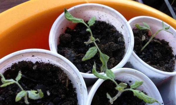 Причины скручивания листьев у рассады томатов