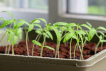 Уход за рассадой томатов после всходов Видео